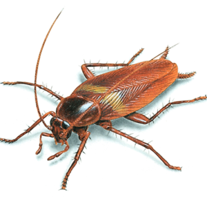Cockroaches Pest Control Dubai