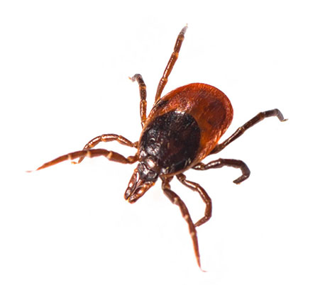 Ticks pest control dubai